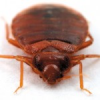 Bedbugs: not dead yet. Chicago Reader feature article
